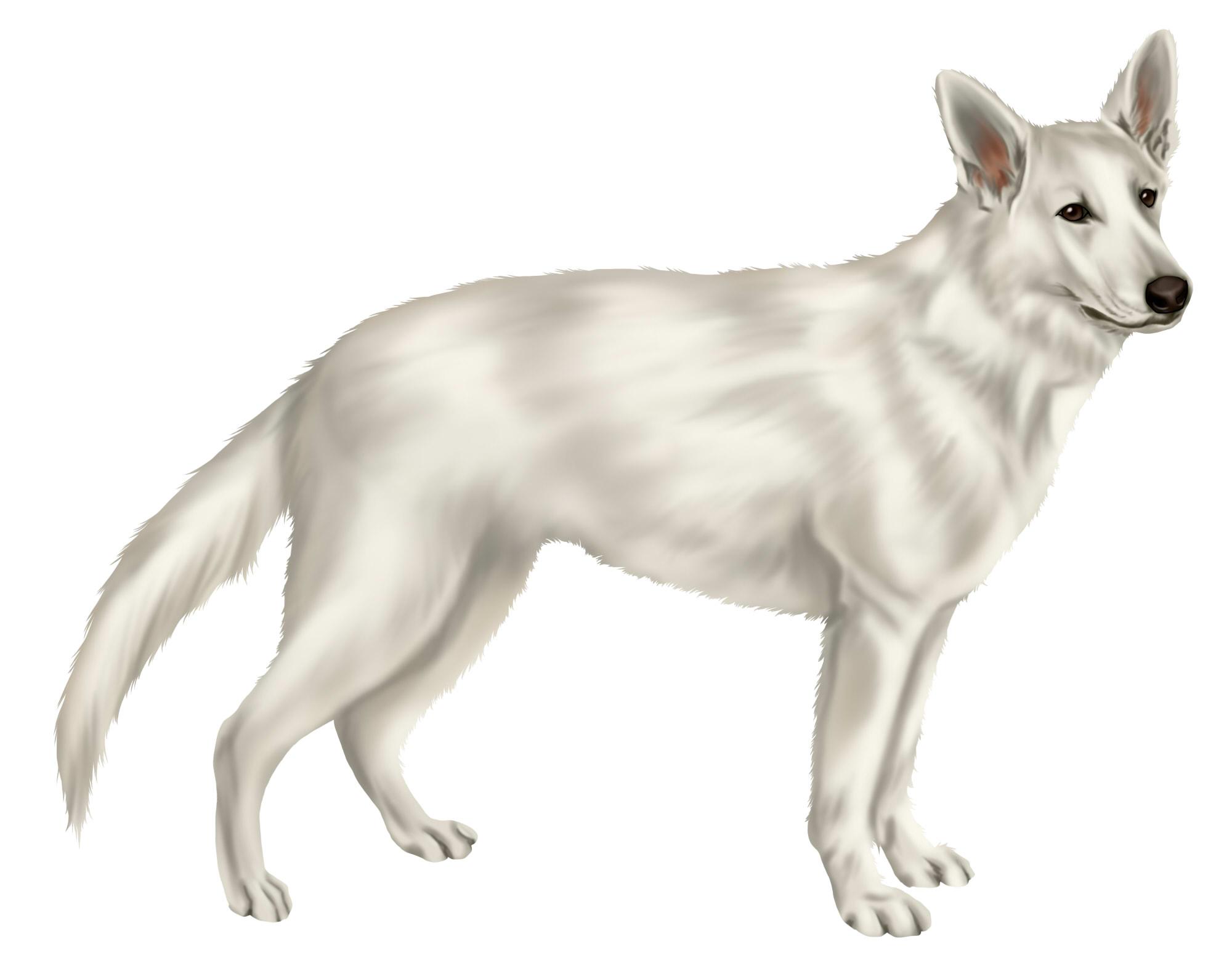 ホワイト・スイス・シェパード・ドッグ